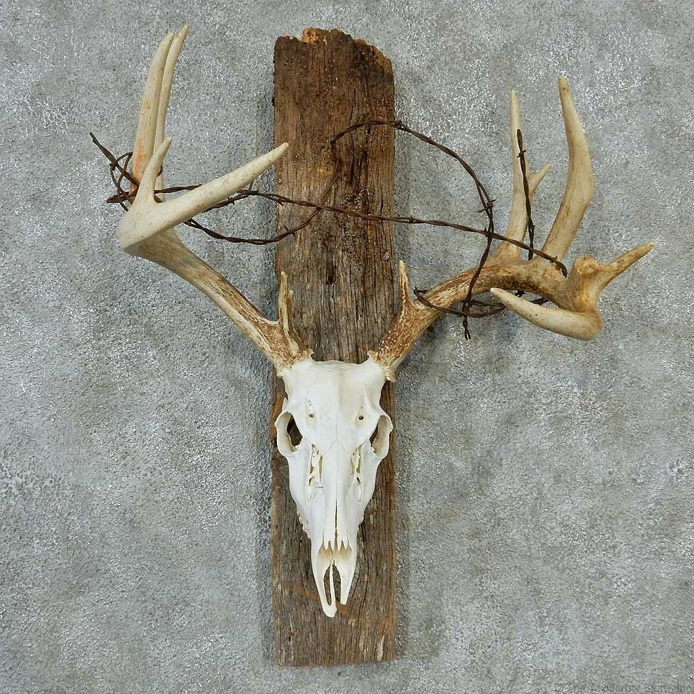 Deer skull mount ideas - Whitetail Skull Antlers Taxidermy Mount 13210 For Sale The Taxidermy Store