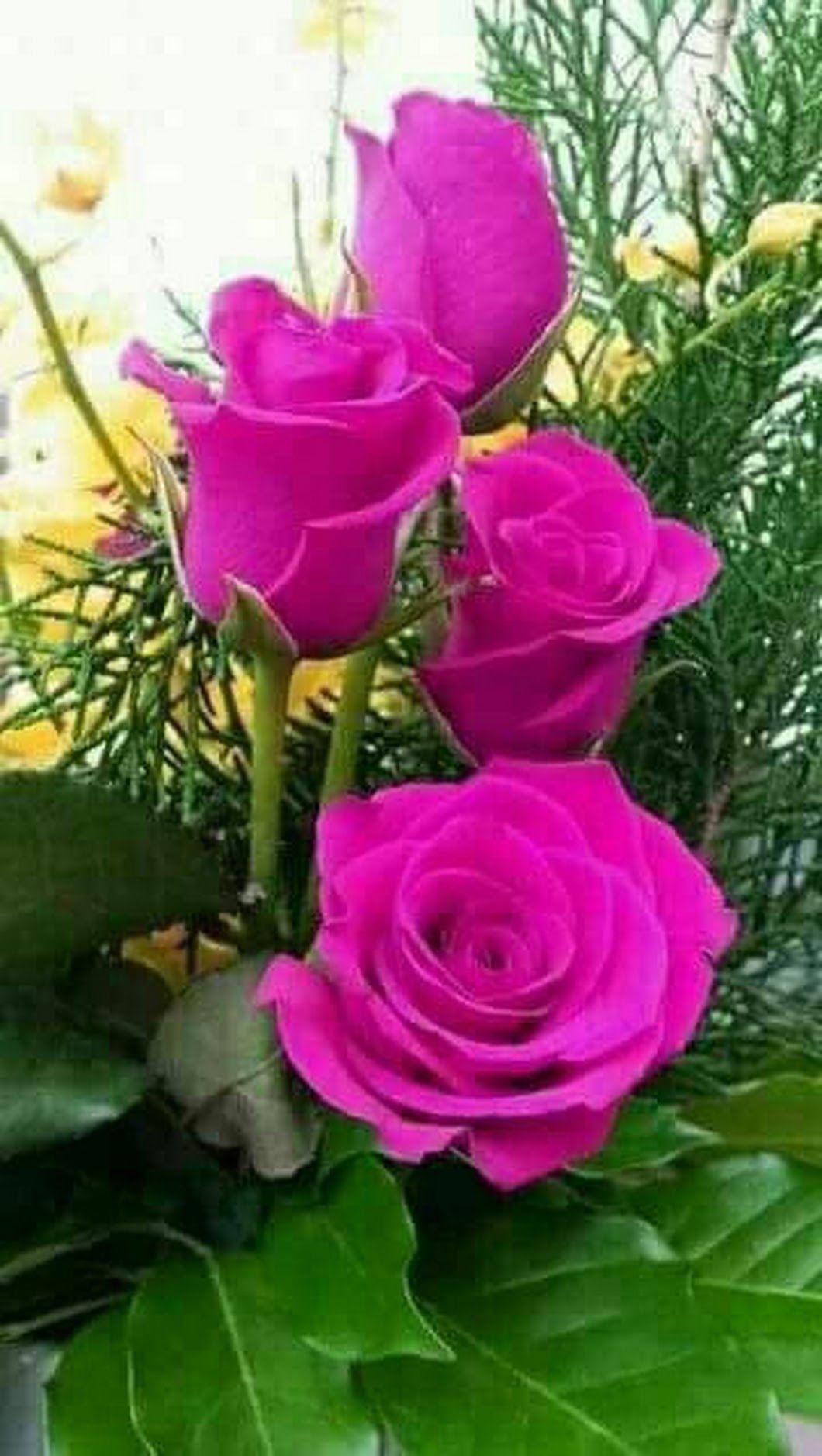 Bom Dia Belas Rosas Vermelhas Rosas Roxas