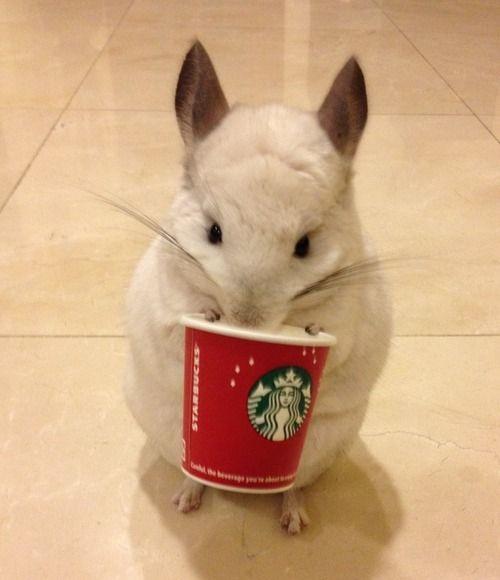 Instagram Chinchilla Photogenic Cutest Animal Cutest Animals Bubu