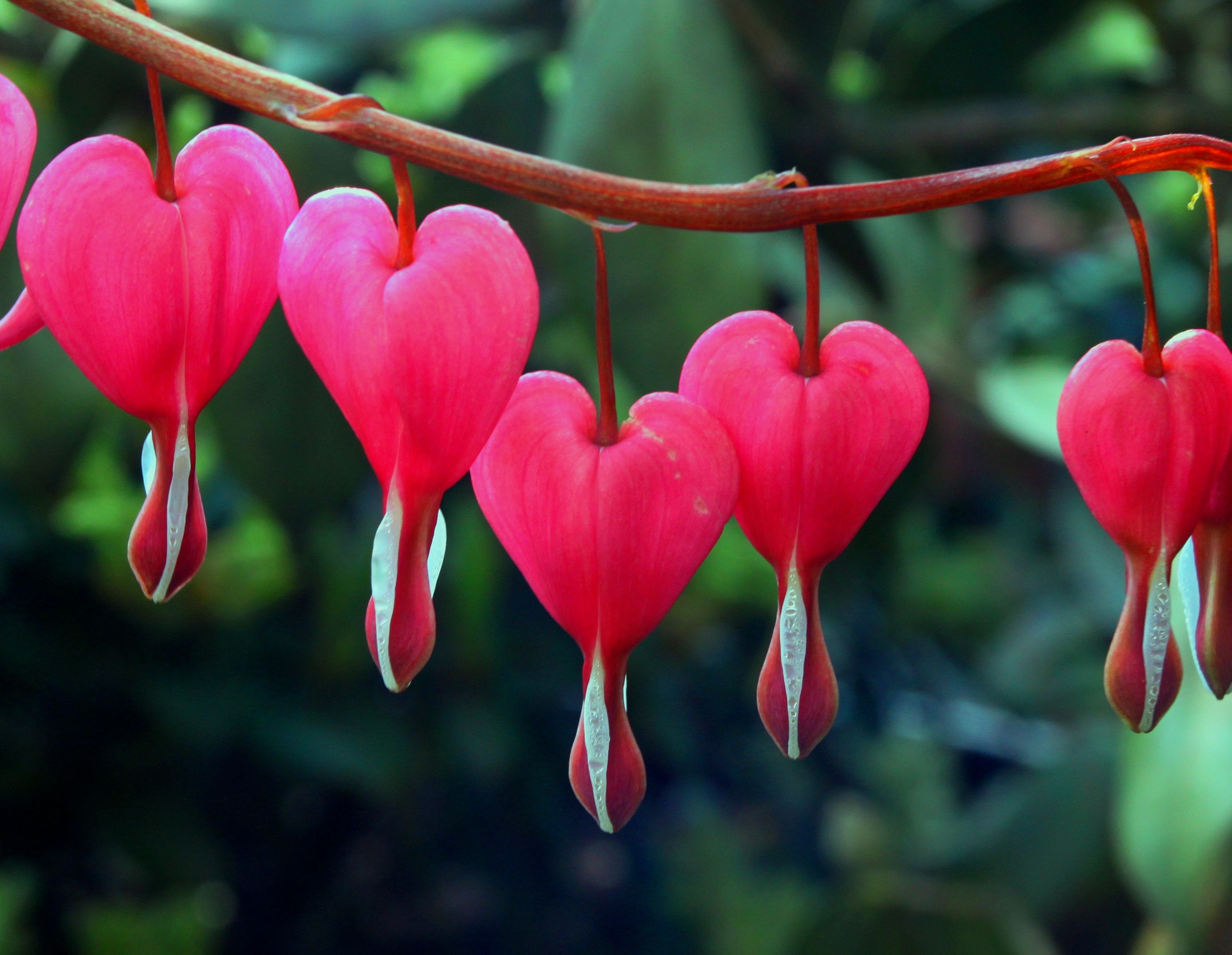 Red Bleeding Heart Bleeding Heart Bleeding Heart Flower Parts Of A Flower