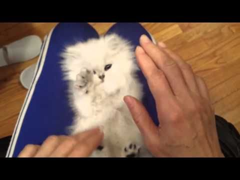 Cat Pets Himself With Dogs Paw Persian Kittens Fluffy Kittens Kitten Love
