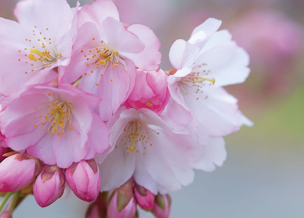 Free Cherry Blossom Wallpapers Branch Brook Park Splurgefrugal Com Cherry Blossom Wallpaper Flowers Cherry Blossom