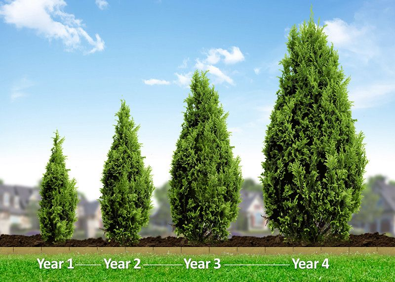 Thuja Green Giant Backyard Trees Privacy Landscaping Privacy Plants