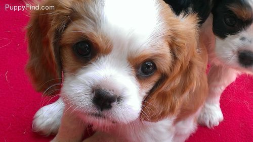 Cute Puppies For Sale In Stamping Ground Ky King Charles Puppy Cute Puppies For Sale Cavalier King Charles Spaniel