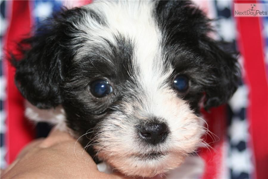 Maltipoo Full Black Google Search Maltipoo Maltipoo Puppy