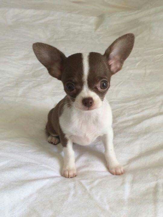 Squeals That S N Adorable Cute Baby Chihuahua Cute Chihuahua
