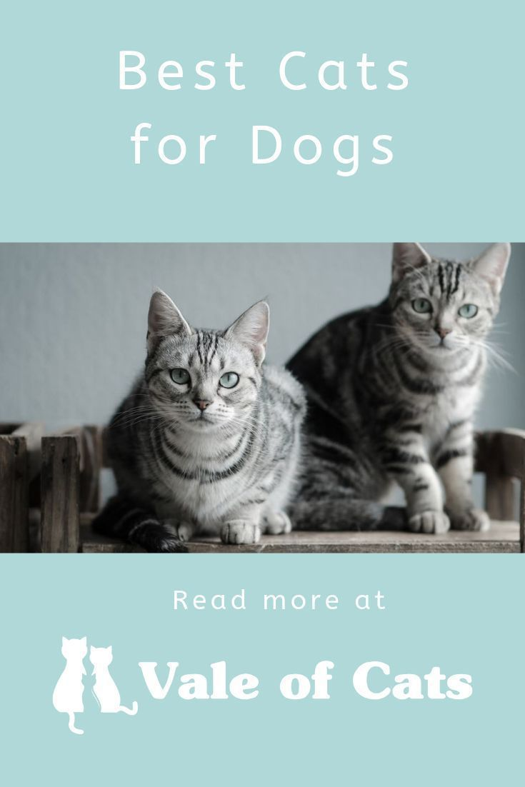 Best Cats for Dogs - 7 breeds that go well with canines #catbreeds