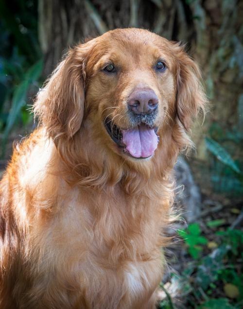Adopt Mason On Golden Retriever Rescue Australian Cattle Dog Dogs