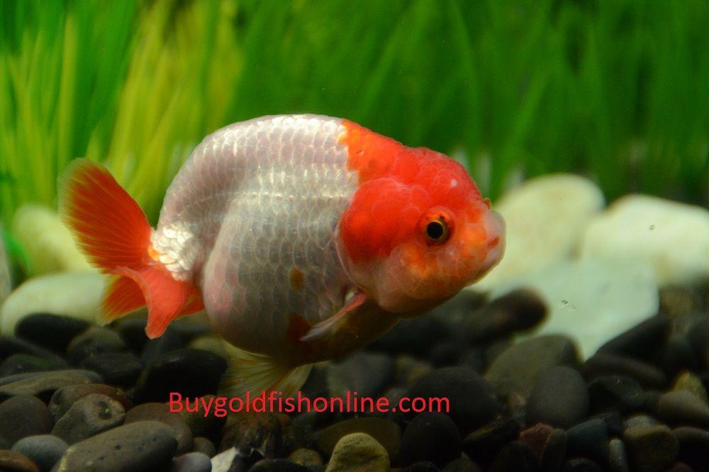 Red And White Ranchu Goldfish Buygoldfishonline Com Goldfish