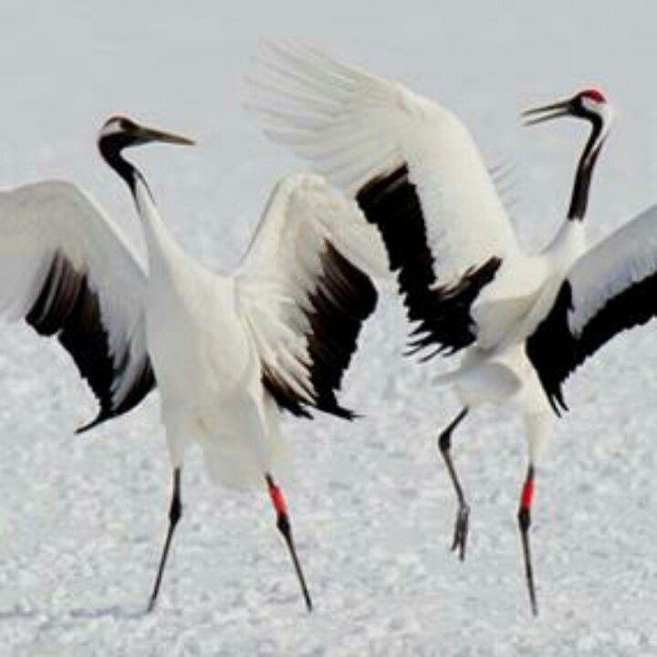 Red crowned cranes of Hokkaido.