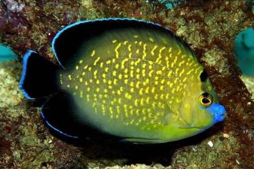 Angelfish Marine Fish Saltwater Fish Tanks Sea Fish