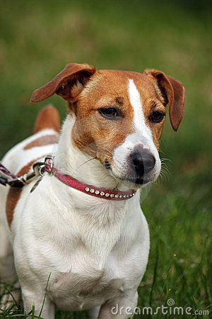 Parson Russell Terrier Beagle Mix Jack Russell Beagle Mix Russel