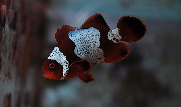 The Lightning Project Clown Fish Salt Water Fish Fish