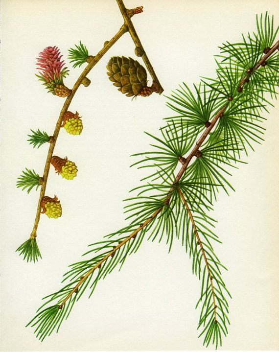 Vintage tree print european larch by marcadevintageprints on etsy vintage tree print european larch by marcadevintageprints on etsy sciox Image collections