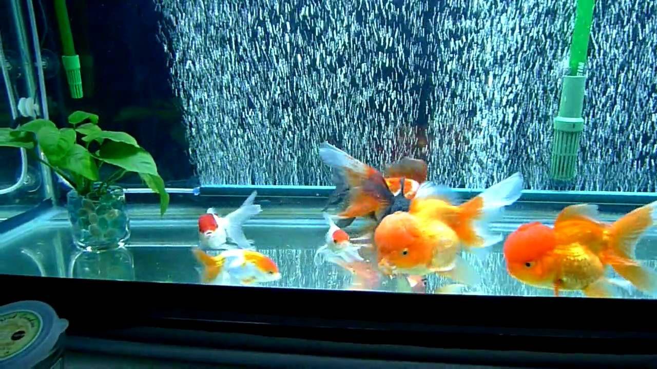 Goldfish tank poissons rouges aquariums pinterest for Fancy fish tanks