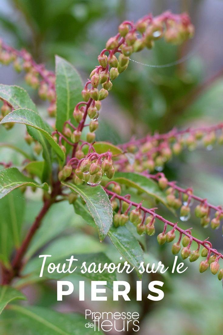 pieris japonica : plantation, taille et entretien   jardin