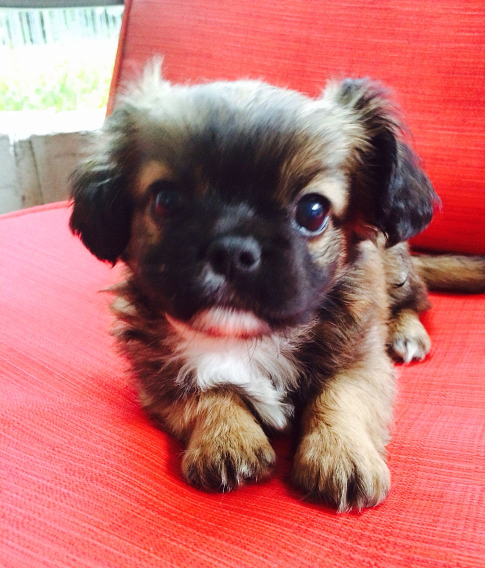 Cheeks Puppy Pekingese And Chihuahua Mix Puppies Pekingese Dogs Chihuahua Mix