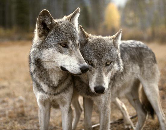 livingwithwolves.org