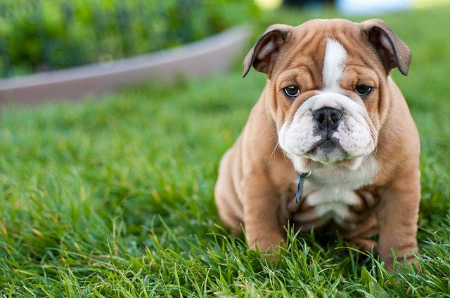 10 Dog Breeds That Have The Cutest Puppies Cute Dogs