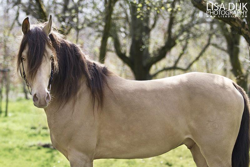 87 5 Arabian 6 25 Saddlebred 6 25 Quarter Horse Stallion Kharamel Gf Beautiful Arabian Horses Rare Horses Horses