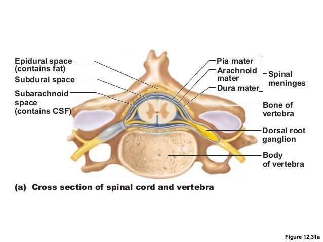 Spinal cord and vertebrae anatomy 2401148 - follow4more.info