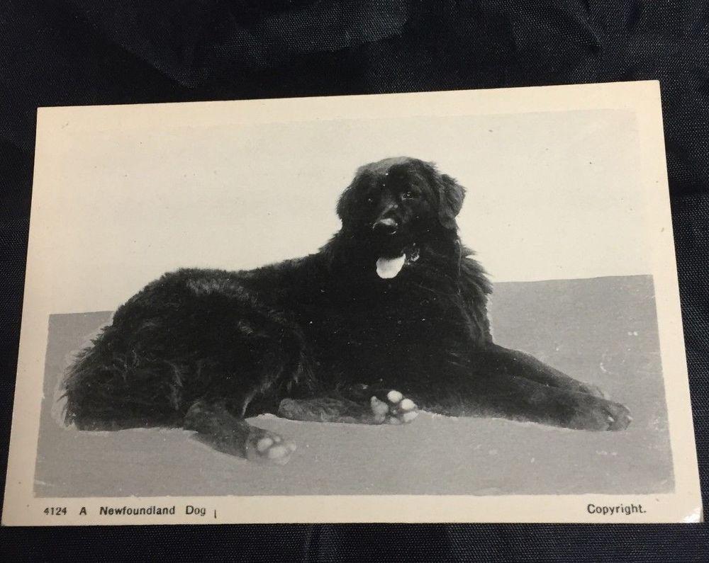 Vintage Postcard A Newfoundland Dog 4124 Ayra Sons St John S Newfoundland Dogs Old Dogs Newfoundland
