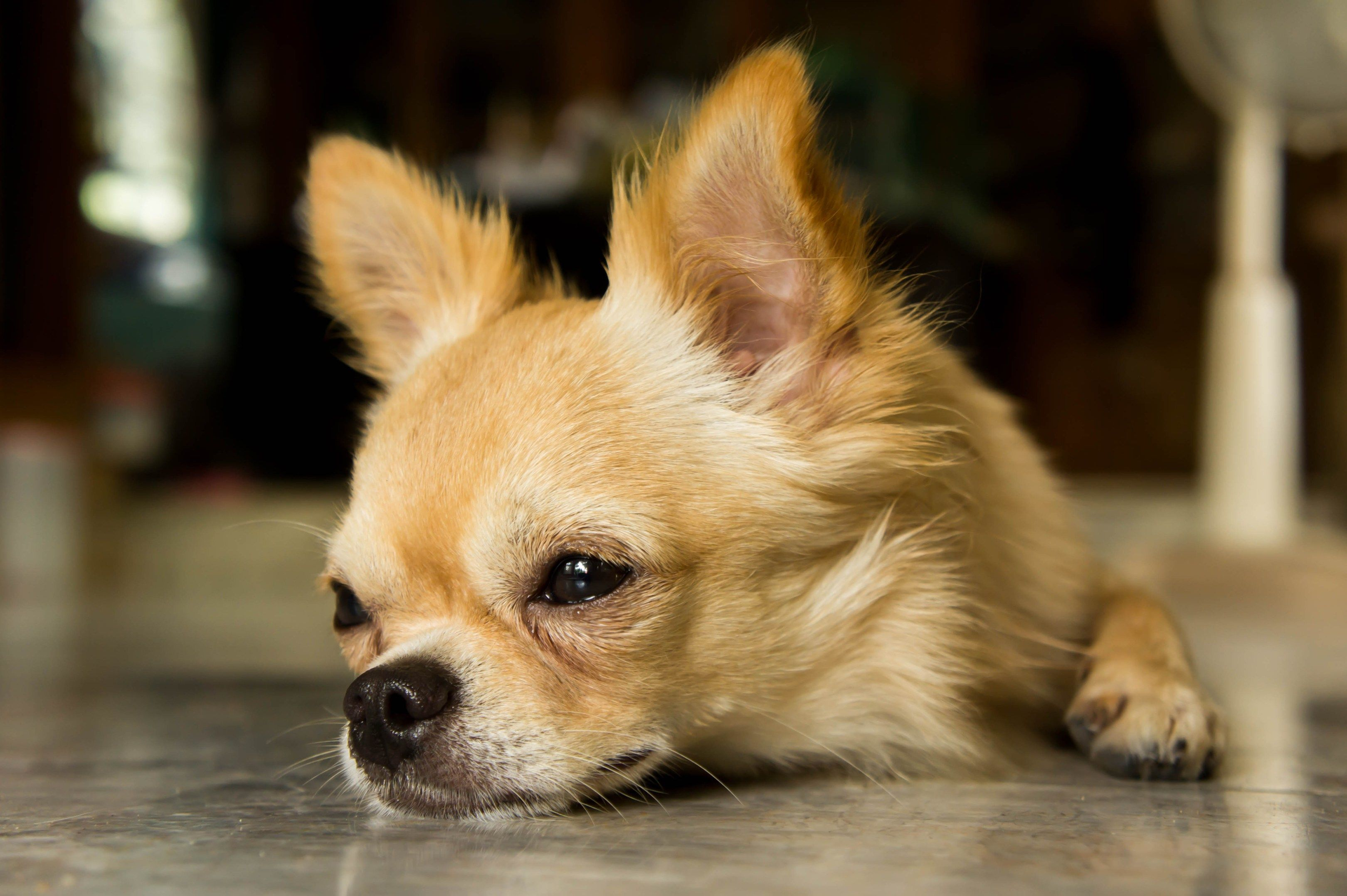 Body language signs your chihuahua is unhappy, stressed