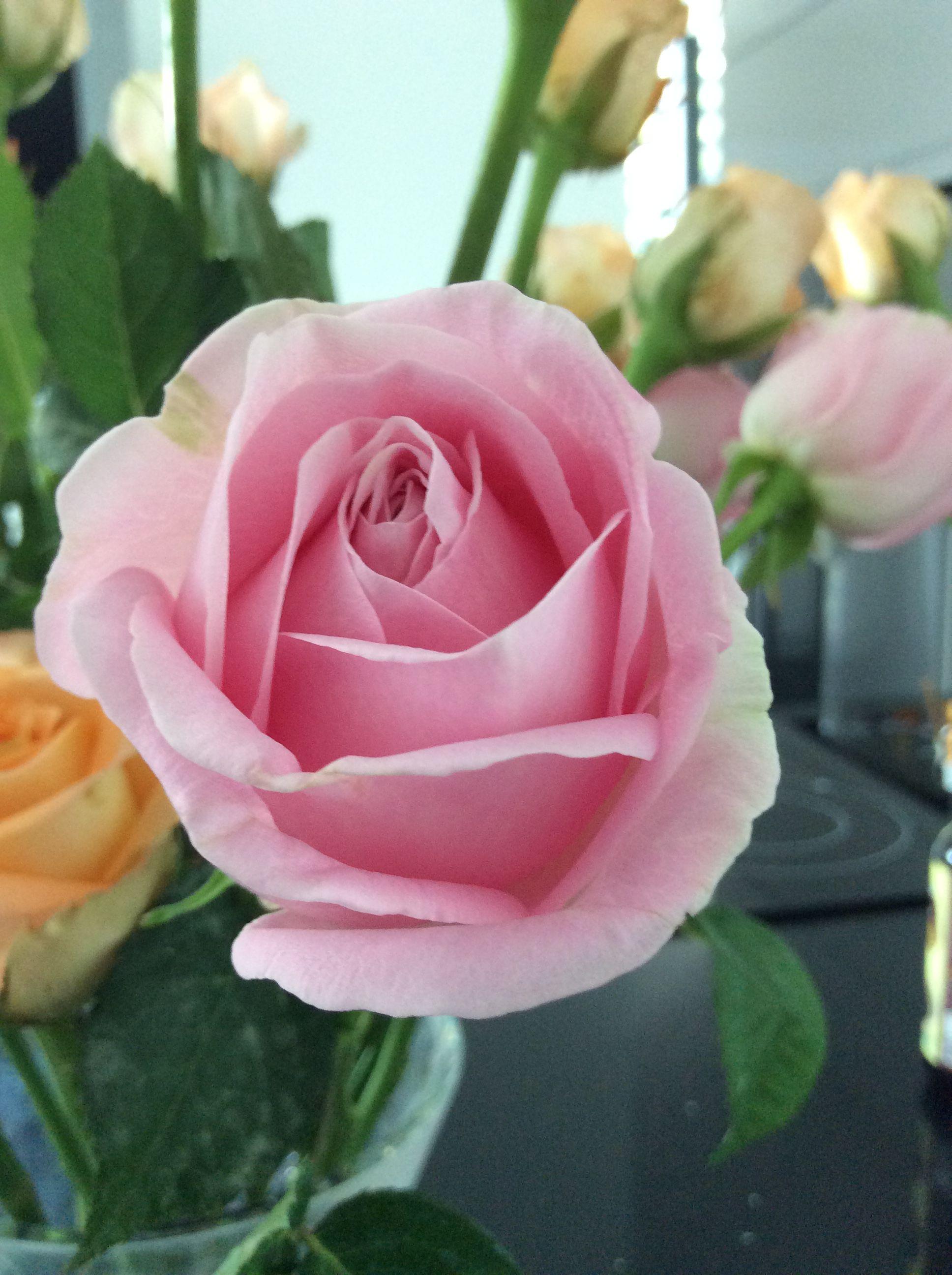 Sweet pink rose..