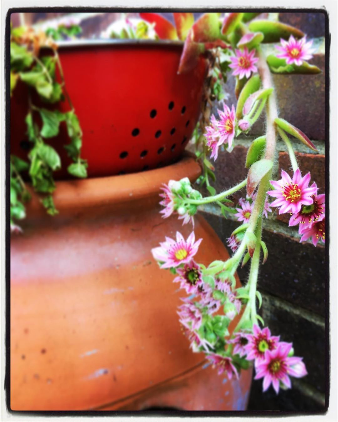 Pretty little flowering succulent in an old red colander