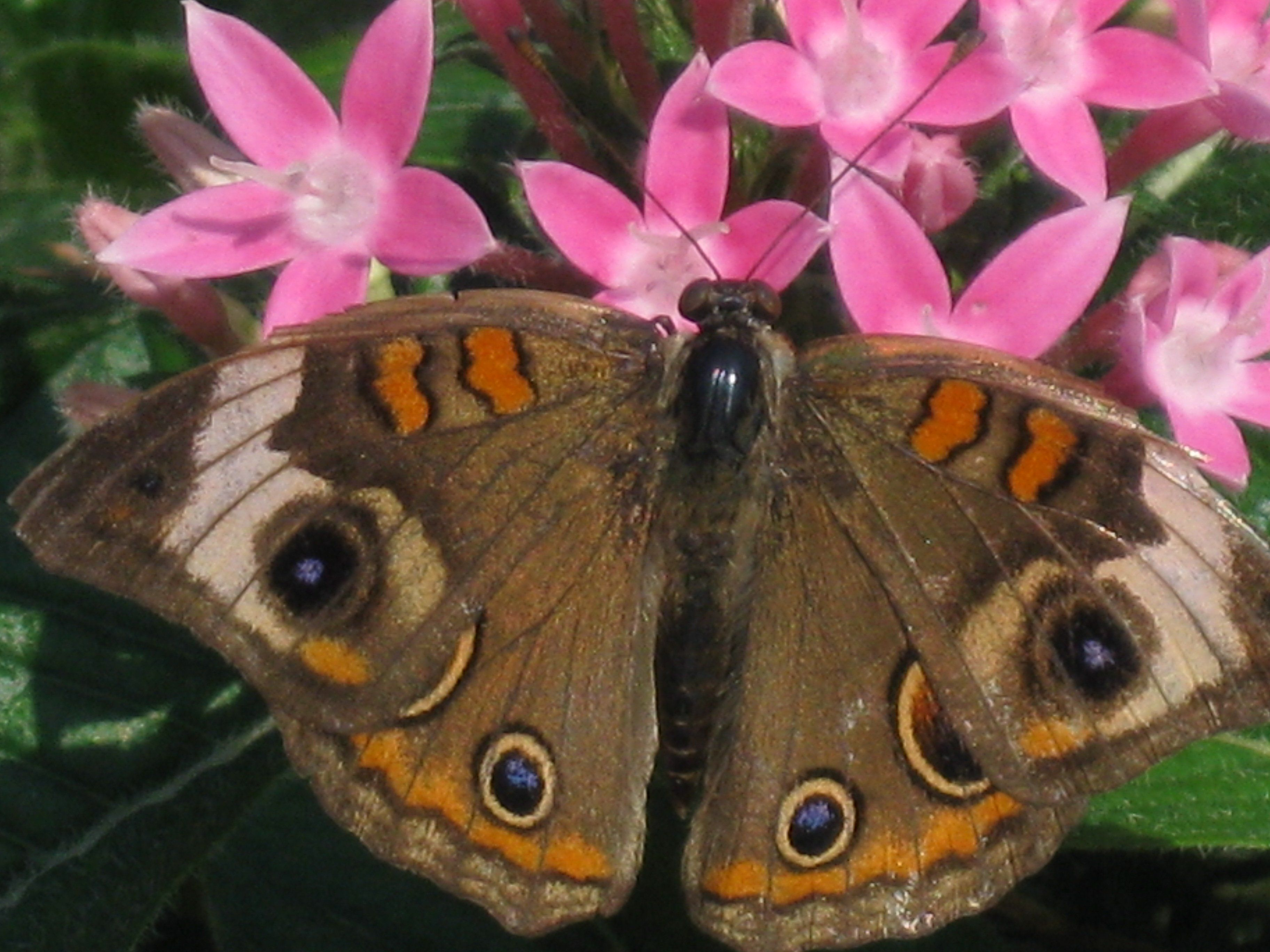 Butterflies Symbols of Life and Hope Buckeye butterfly