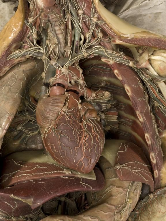 Wax anatomical model of a female showing internal organs ...