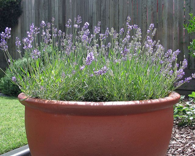 Lavender is a very easy plant to grow especially if you for Easy to keep garden plants