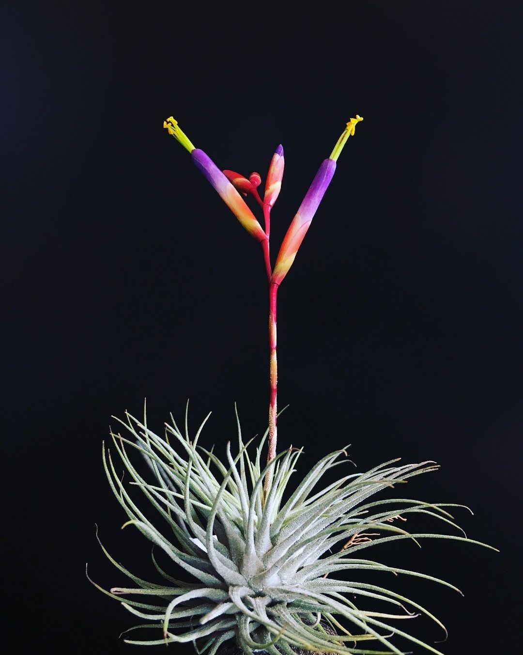 Tillandsia Fuchsii V Fuchsii Flowering By Dorian Fourie Www