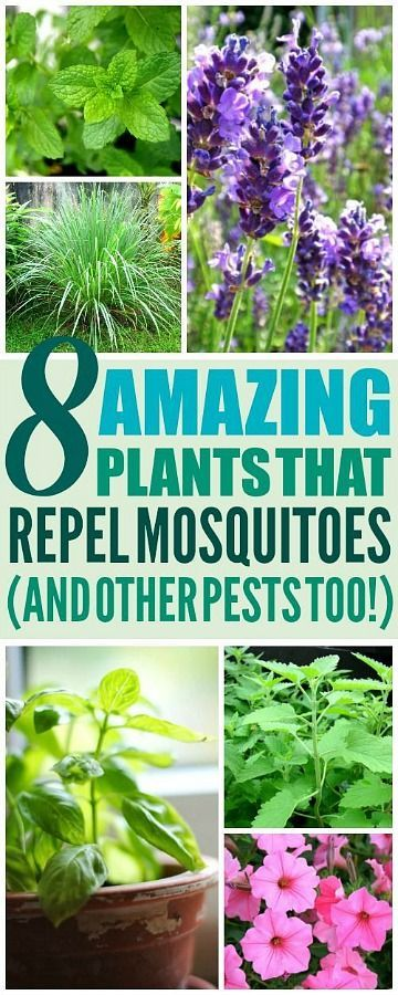 inspiration house plants that repel bugs. 8 Amazing Plants That ll Repel Mosquitoes  And Other Pests
