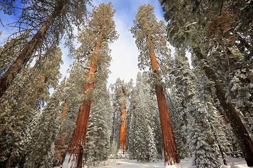 Absolutely Stunning In Celebration Of Arbor Day Here Is A Stunning Photo Of Some Of The Oldest Trees National Parks California National Parks Sequoia Tree