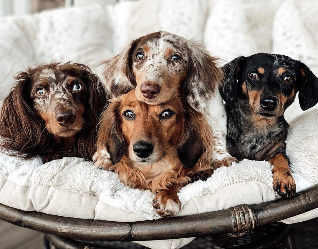 Dachshund Breed Coat Colors Dachshund Coat Colors And Patterns
