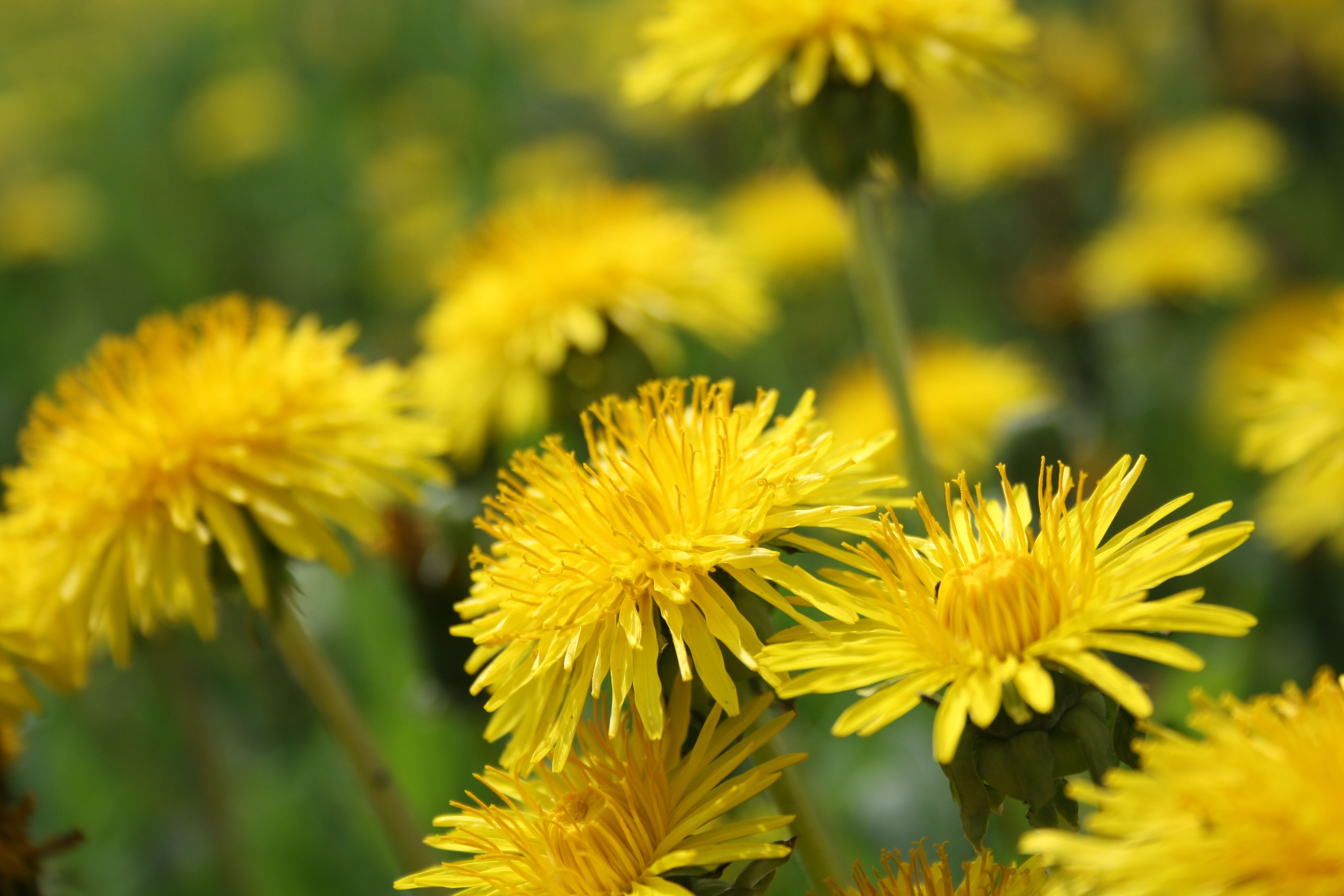 Tyres From Flowers Experts Say By All Means With Images Dandelion Benefits Dandelion Dandelion Tea