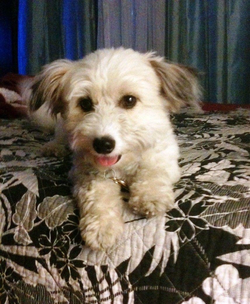 Jack Russell and Miniature Poodle (jackapoo) Poodle