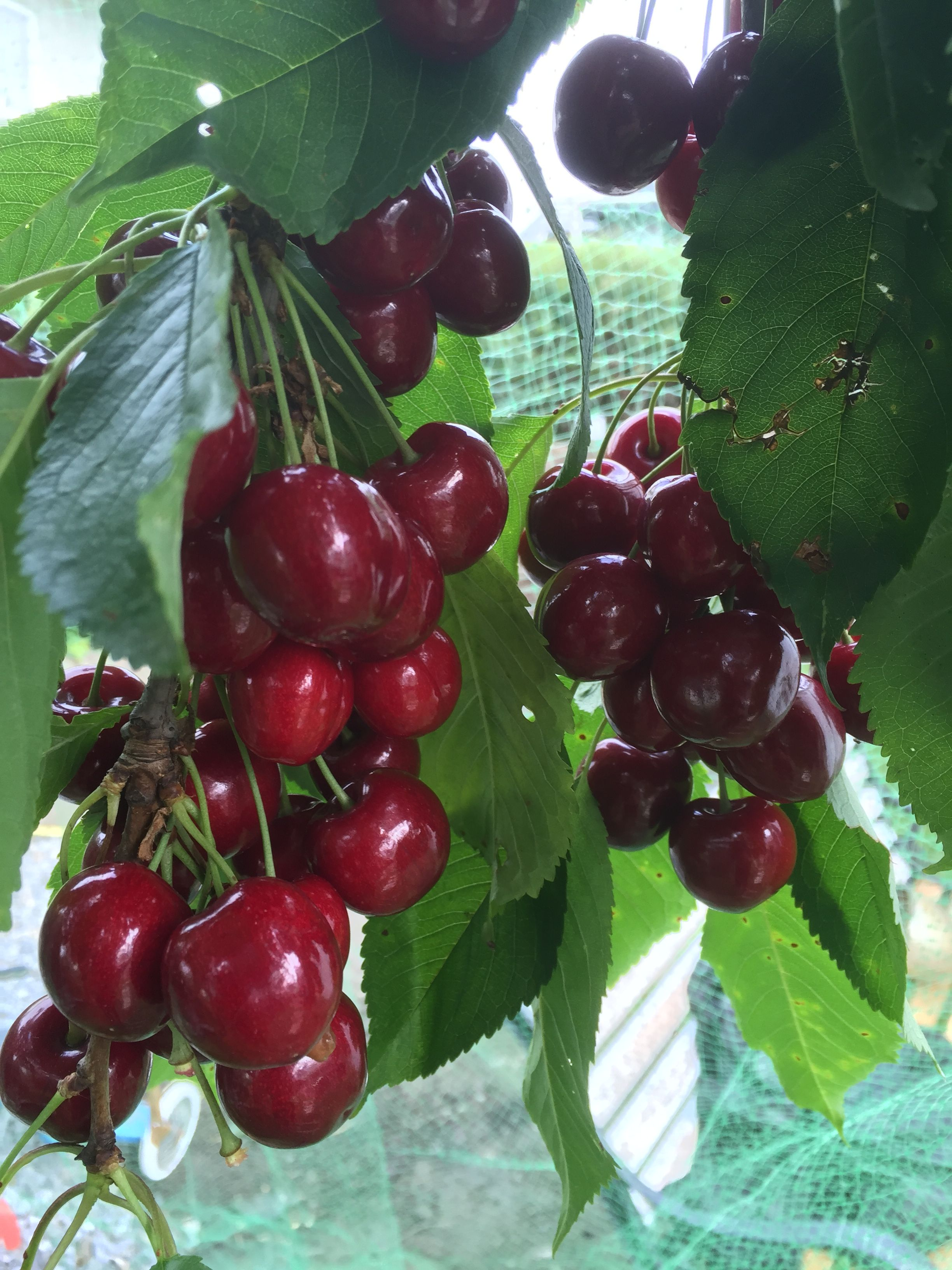 My Fruit Obst Lecker Gesundheit