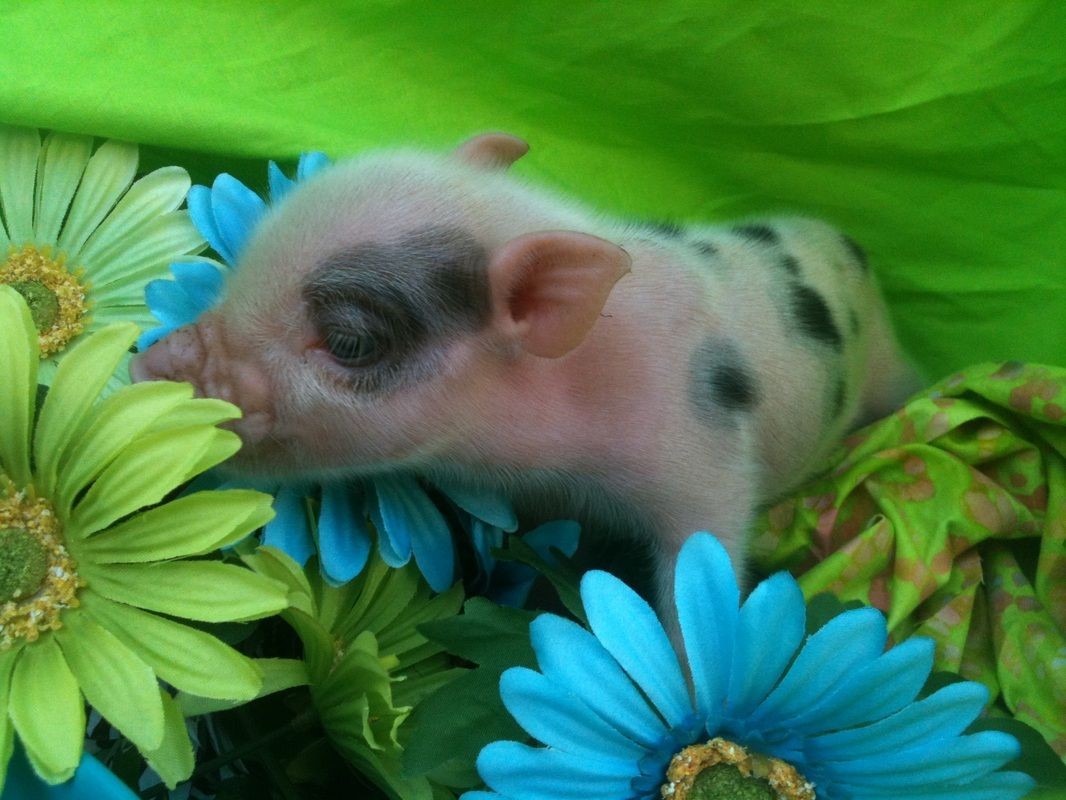 Selling Cute Mini Pigs Pet Pigs Mini Pigs Pigs For Sale
