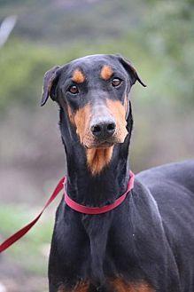 Fillmore Ca Doberman Pinscher Meet Vanessa A Dog For Adoption