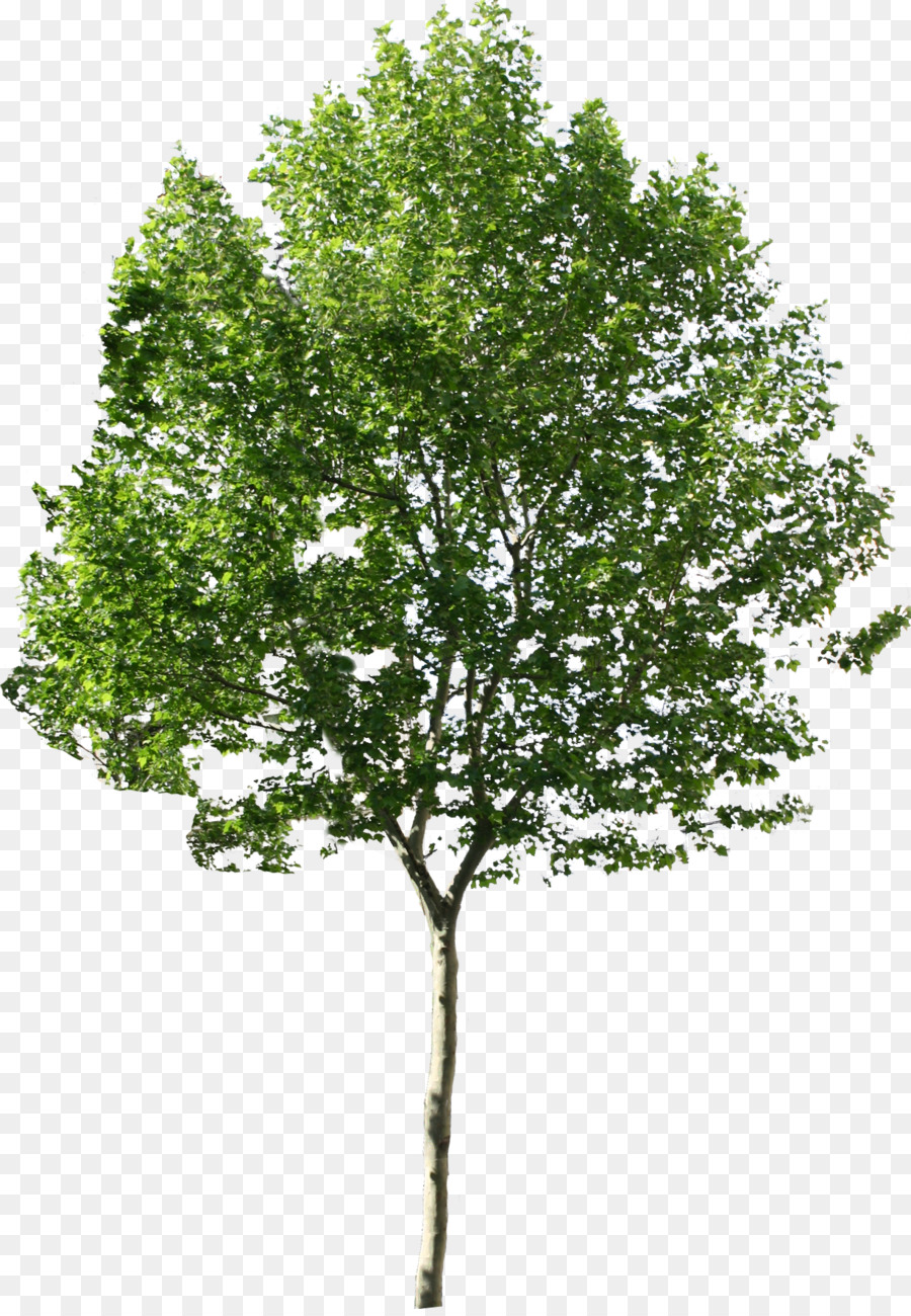 Tree Png Available In Different Size Png Download 1227 1763 Free Transparent Tree Png Download Tree Photoshop Family Tree Background Photoshop Elements