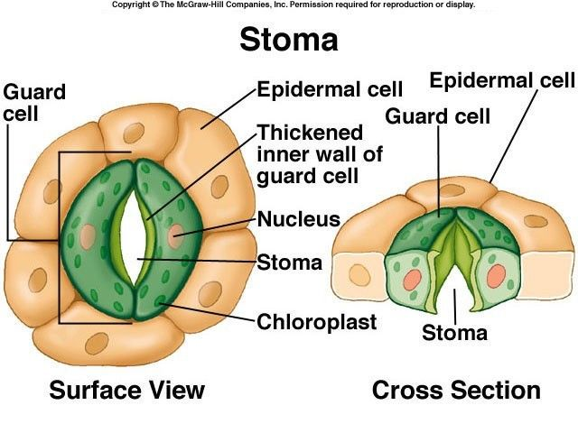 Stomata Open And Close Google Search Agr 180 Pinterest Close