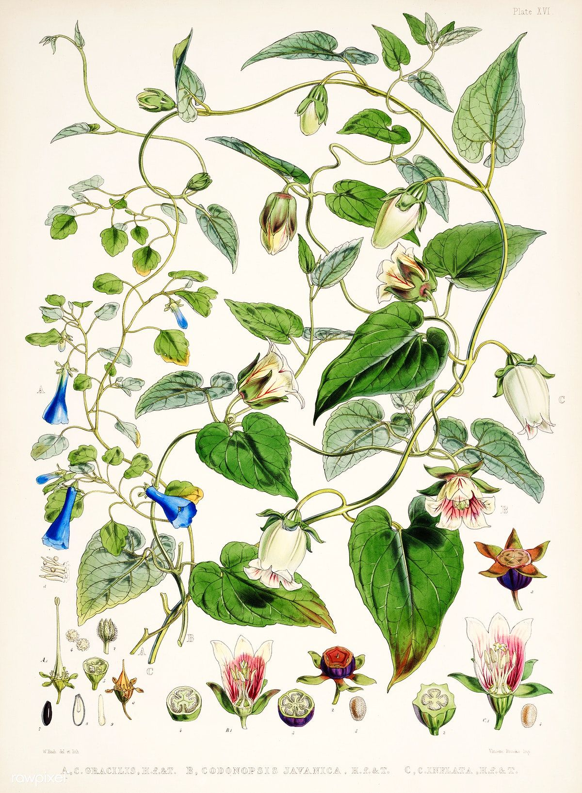 Indian Tobacco Lobelia Inflata From Illustrations Of Himalayan