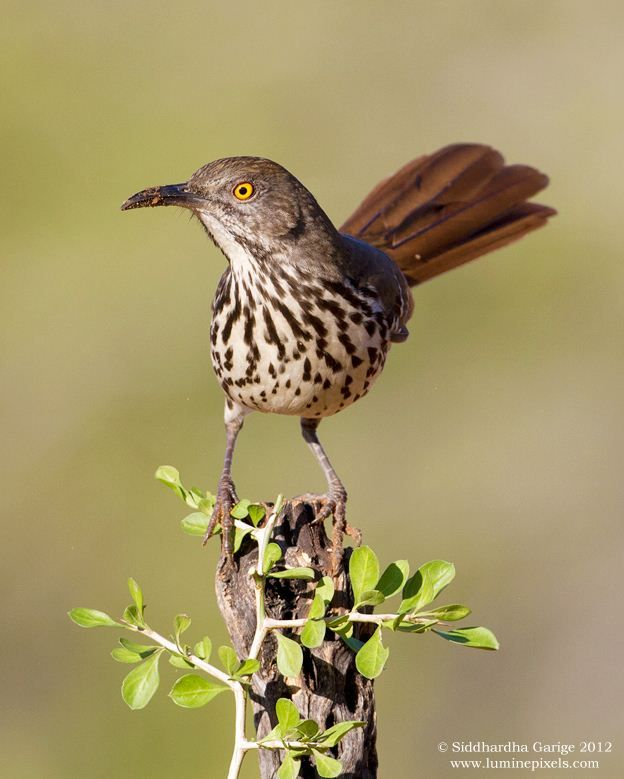 Long-billed thrasher South Texas | birds of a feather ...