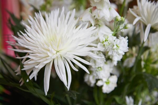 What Is The Difference Between A Mum A Chrysanthemum Mums Flowers Spider Mums Kitchen Garden