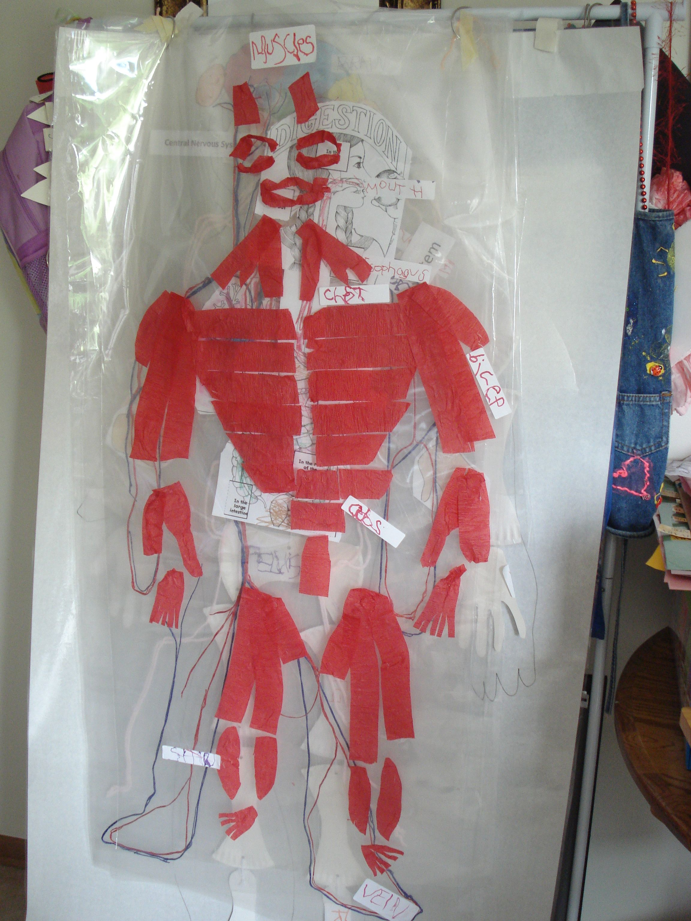 musculatory system made with crepe paper glued on top of laminating film.  Student can then identify  the parts from anchor chart and write stickle labels and place on overlay that is on top of each of the human body systems.  White paper is outline of student.