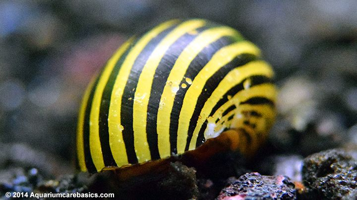 Nerite Snail Eggs Care Algae Eating Tips And Lifespan All About Nerite Snails Snail Sea Fish Deep Sea Fishing