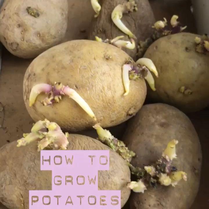 How to Grow Potatoes  #growingpotatoes
