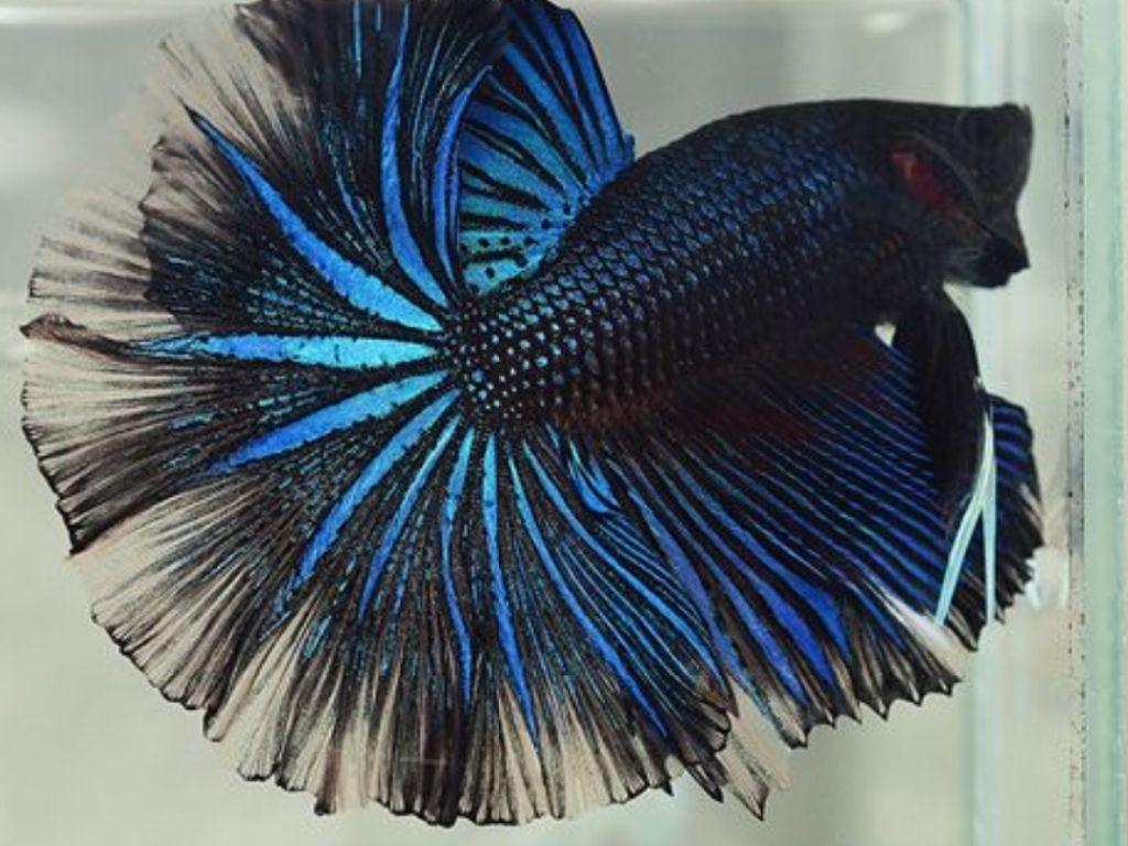 Gambar Ikan Cupang Terbaik